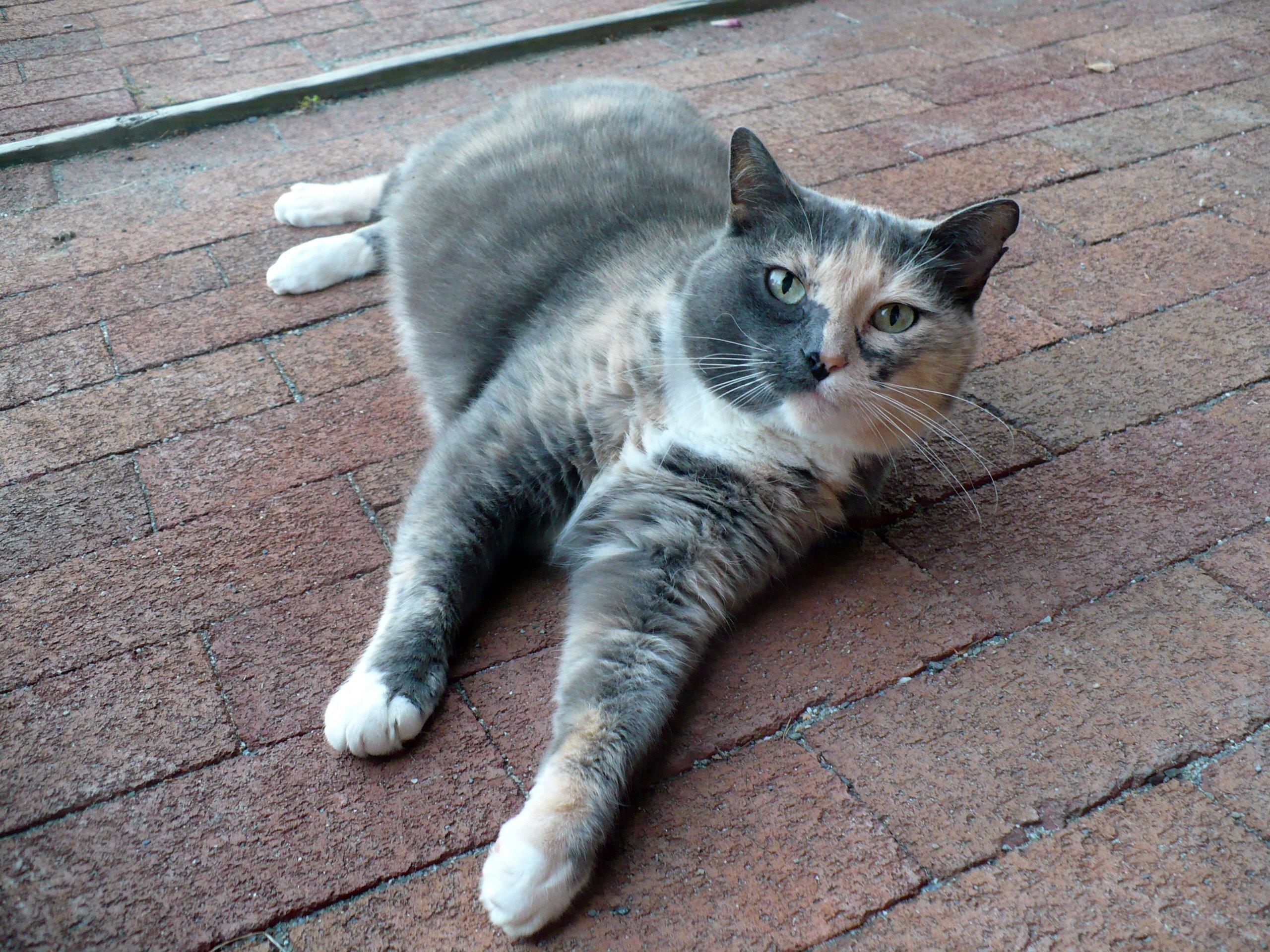 Kat (dier) - Wikipedia