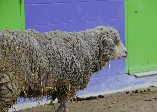Dirty sheep | by Valerie Everett