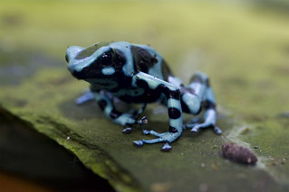 Poison Arrow Frog | by BigFrank