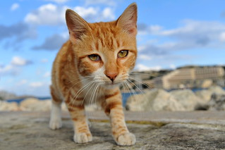 Malta cat: The Tiger | by stephanrudolph