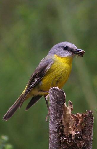 eastern yellow robin & snack | by Shut up & let me see your jazz hands