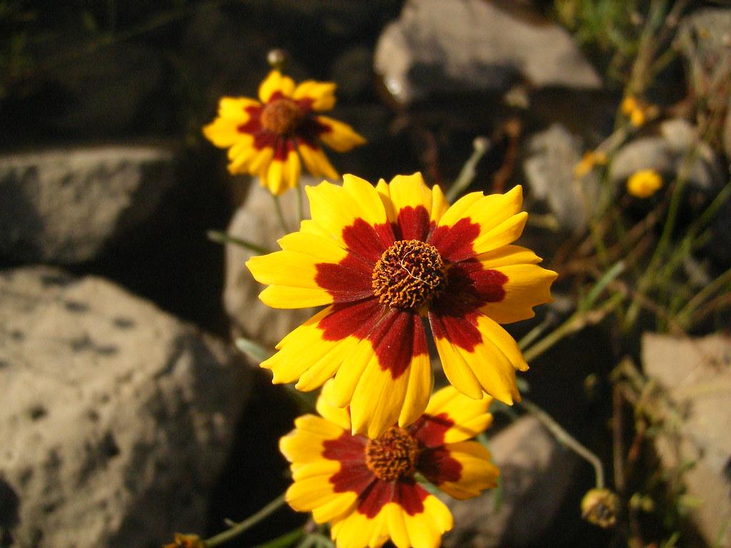 Yellow Flower Red Center Nightbird2007 Flickr