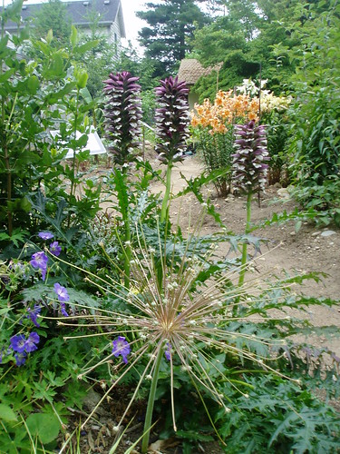 Allium and Acanthus | by RHR Horticulture