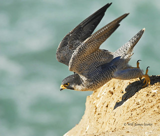 Peregrine Falcon at Torrey Pines | by Sharpeyesonline
