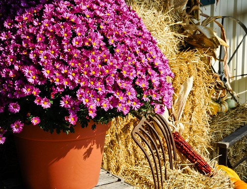 Huge pot of mums | by Valerie Everett