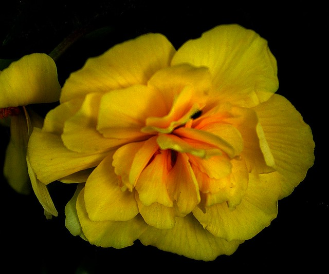 Barbers' Garden, July 2008: Tuberous Begonia
