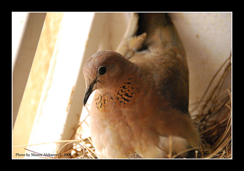 Laughing Dove   قمرية | by CLICK GROUP معين الشريف Moeen