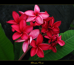 The Plumeria Shady Red | by mad plumerian