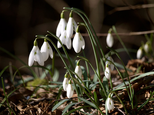 Risveglio 2 Bucaneve -Waking up 2 snowdrop | by *evelyn47*