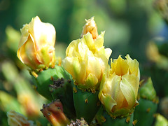 Cactus Flower | by jdn