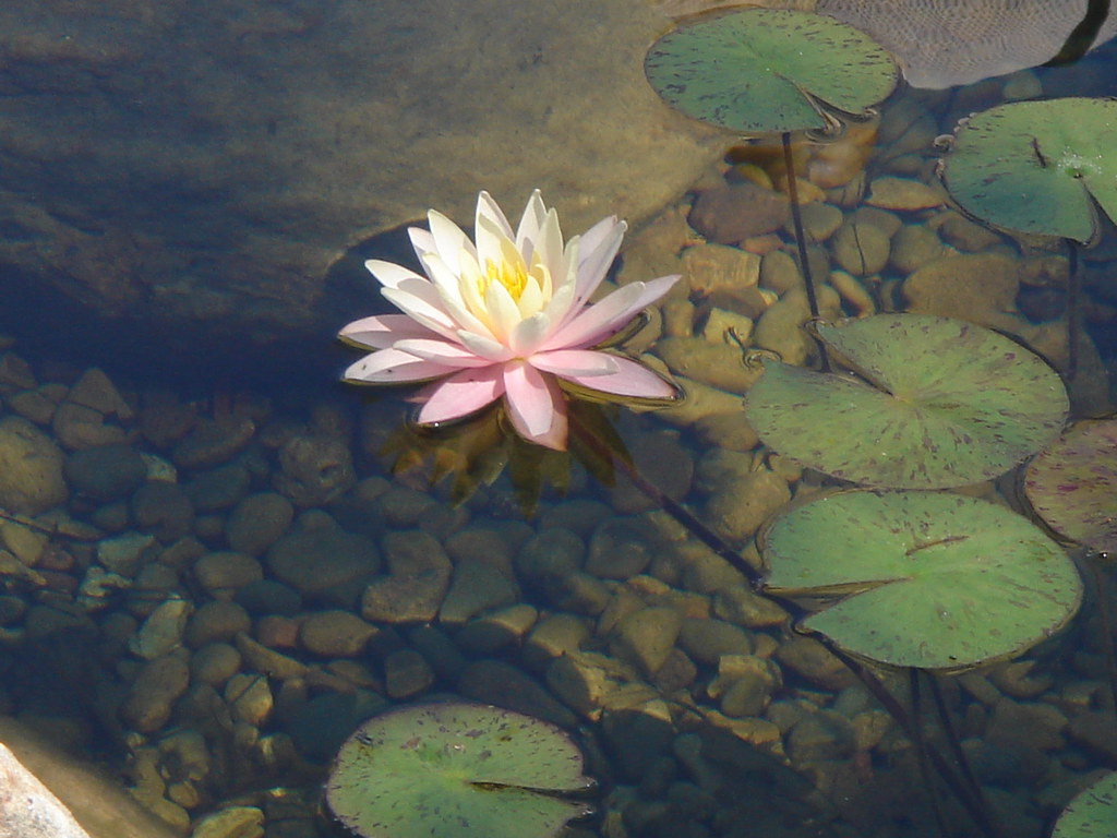 Lotus Flower At The House On The Rocks Japanese Garden Flickr