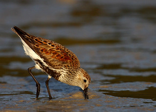 A Dunlin | by Darby & Me