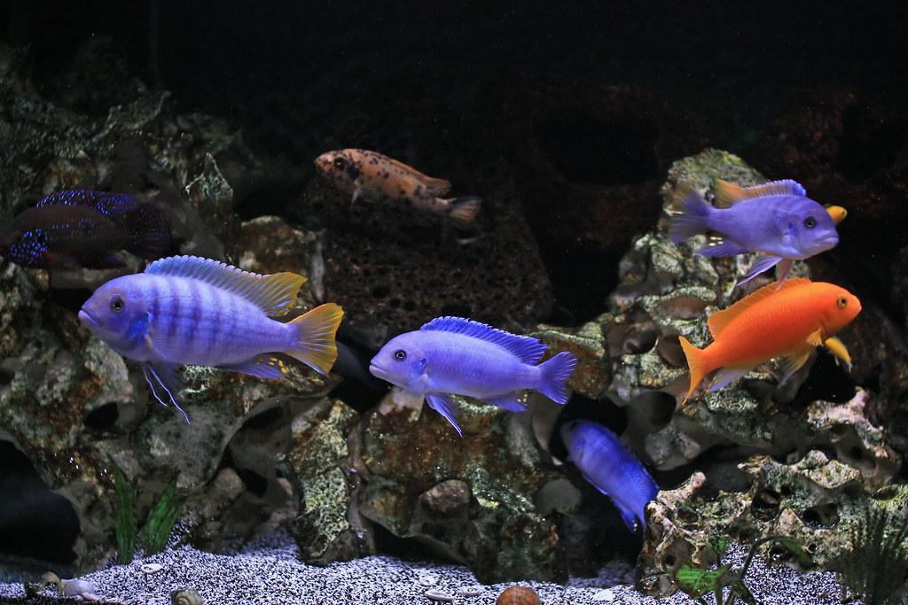 cichlid aquarium ile ilgili görsel sonucu