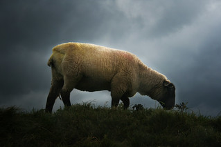 Sheep | by GemmieV