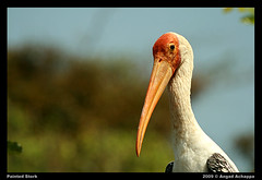 Painted Stork - portrait EXPLORE: Mar 2, 2009 #17 | by Angad Achappa