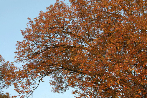 Fall colors white ash tree this is in my