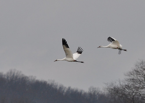 Whooping Cranes | by Ed Schneider
