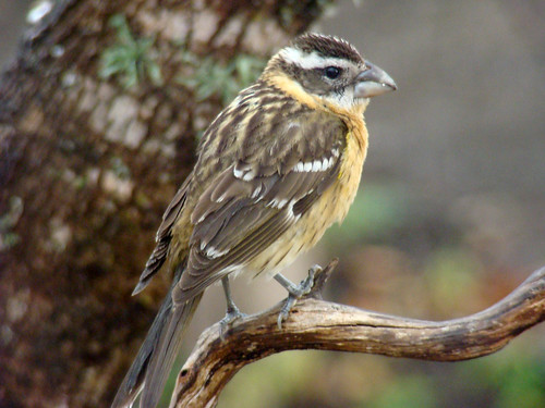 BLACK-HEADED GROSBEAK   (Pheucticus melanocephalus) | by Maggie.Smith