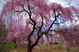 Branch Brook Park New Jersey Cherry Blossom Display | by Free Of The Demon