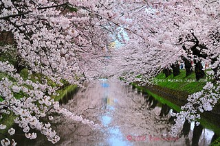 Sakura Moat (Hirosaki Japan). © Glenn Waters. (Explored). Over 56,000 visits, to this photo. Thank you! | by Glenn Waters ぐれんin Japan.