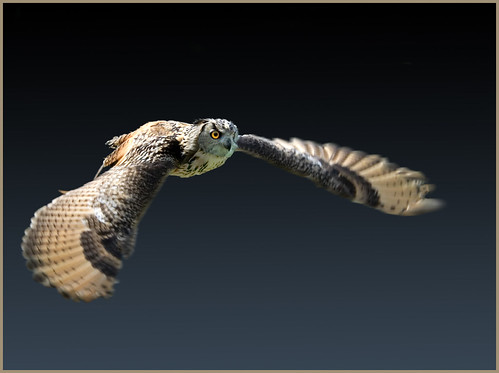 Eagle owl out hunting - shot in July 2008 | by hawkgenes