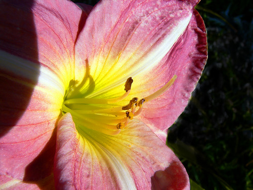"""French Tudor"" Daylily 
