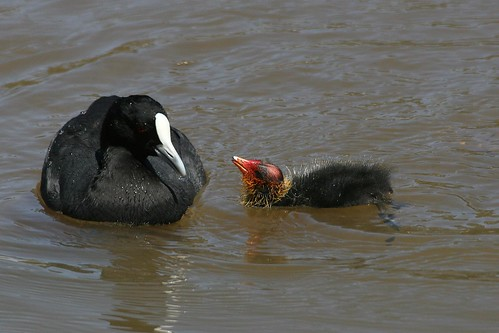 Eurasian Coot and Chick | by mrdehoot
