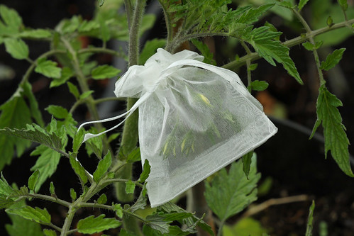 Isolation Bag on 'Anna Russian' Tomato | by Meighan