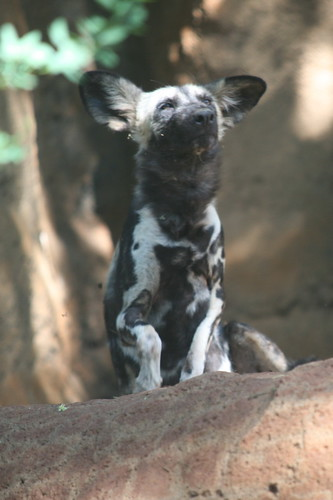 African Wild Dog Lycaon Pictus These Dogs Are Similar