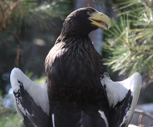 Steller's Sea Eagle with wings spread | by San Diego Shooter