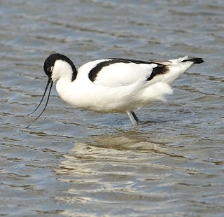 Avocet Feeding | by earlyalan90 away awhile