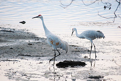 Sandhill Cranes Study Lake Wingra As Twilight Falls | by Madison Guy