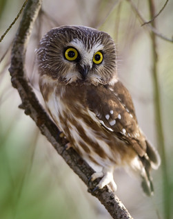 Northern Saw-Whet Owl | by Rick Leche