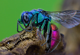 Ruby-tailed Wasp (Chrysis ignita) | by Frupus