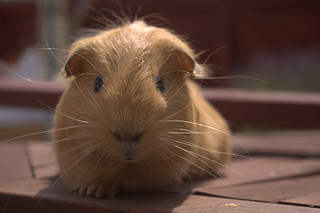 Guinea Pigs | by MJames