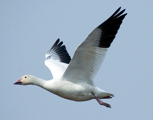 Snow Goose in flight | by hoganphoto