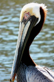 Brown Pelican | by bird_dog57