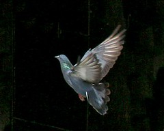 Pigeon....In Flight | by kayess2008