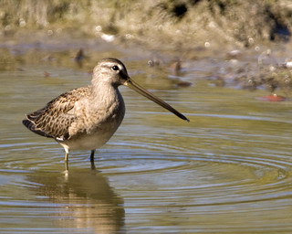 Long-billed Dowitcher | by Rick Leche