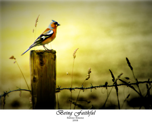 chaffinch | by freemysoul