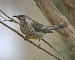Red Wattlebird (Anthochaera carunculata) | by Lip Kee