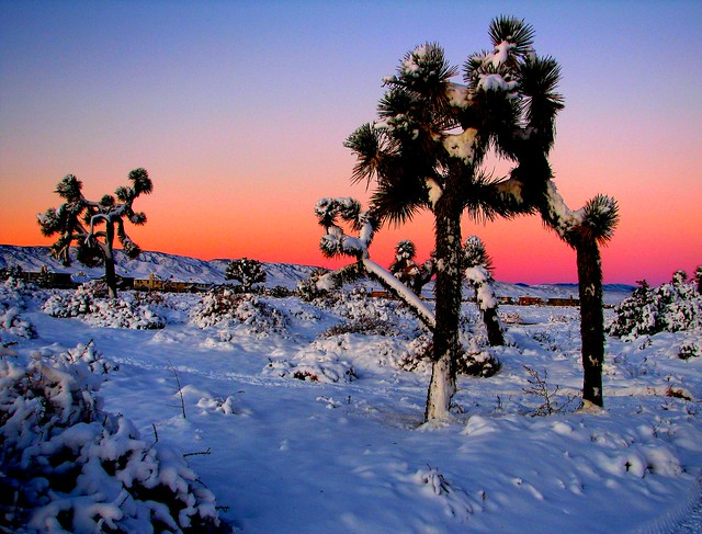 Joshua Trees in Winter