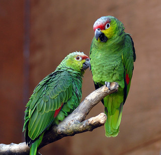 A Pair of Ecuadorian Amazon Red-Lored  Parrots | by Steve Wilson - over 9 million views Thanks !!