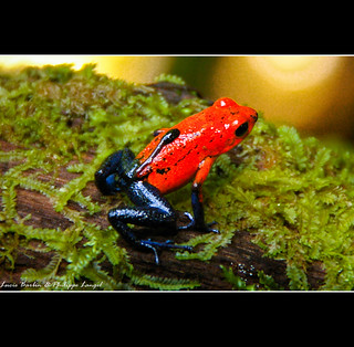 Blue Jeans Poison-dart Frog - Dendrobate Carrying it's baby! - Costa Rica | by Lucie et Philippe