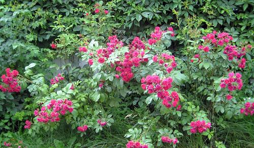 Ruusupensas sinisen talon edessä