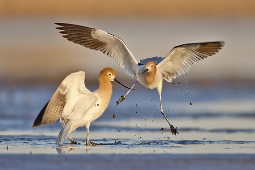 American Avocets Muckin' Around... | by Jeff Dyck