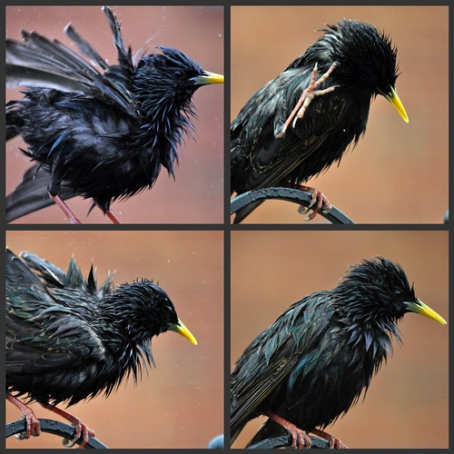Starling collage...Explored highest position #152 | by Lamby1959
