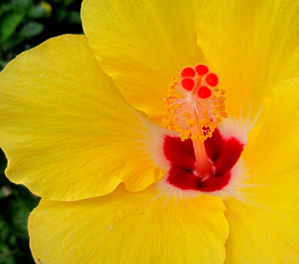 Hawaiian state flower pua aloalo hibiscus brackenridgei flickr hawaiian state flower pua aloalo hibiscus brackenridgei 174365 by lamhanson23 izmirmasajfo