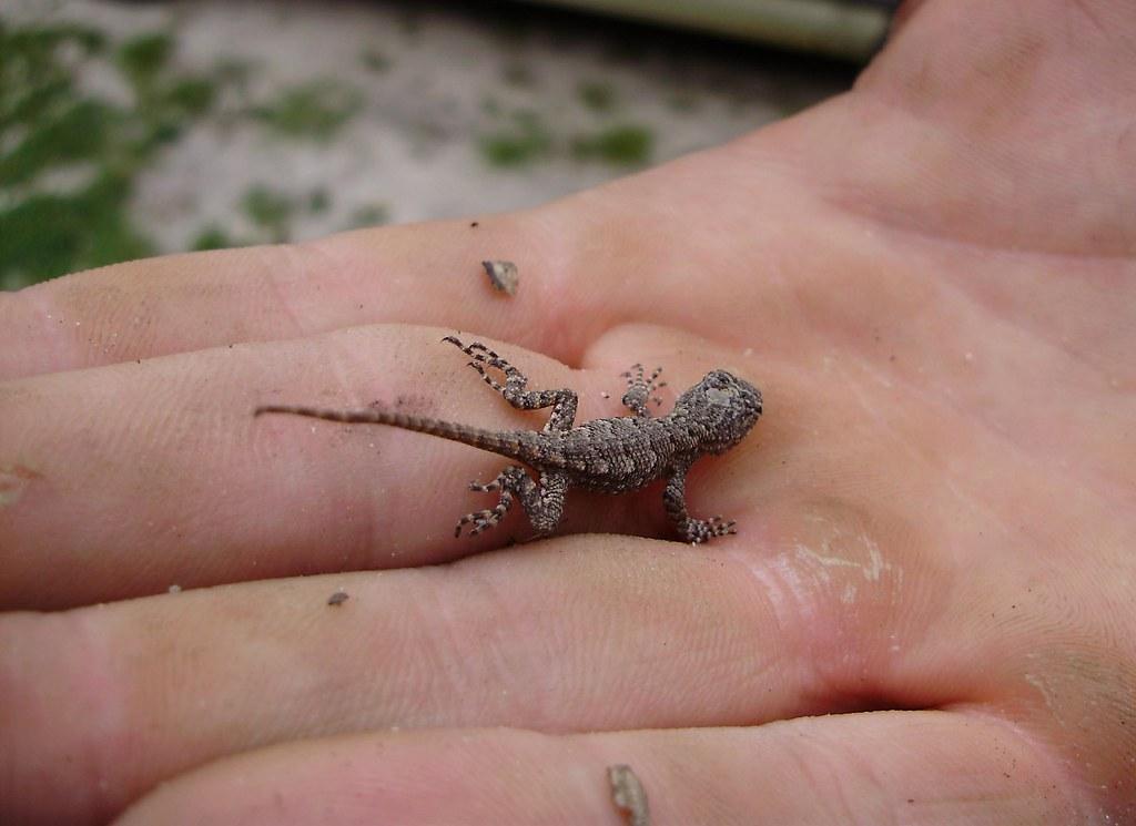 Baby Eastern Fence Lizard Baby Eastern Fence Lizard Scel Flickr