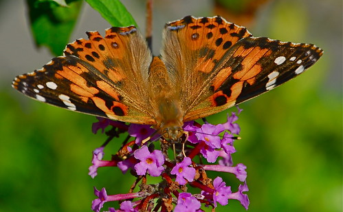Sparkling Painted Lady | by six28fifty